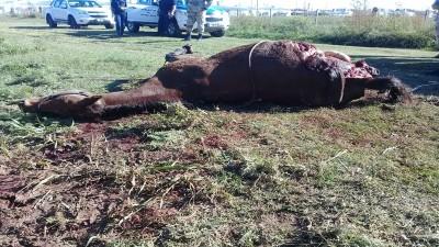Carnearon un equino en Strobel
