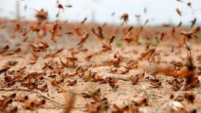 Alertan por la posible llegada de una inmensa manga de langostas a Entre Ríos