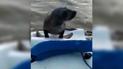 Otra vez, un lobo marino sorprendió en aguas del río Gualeguaychú