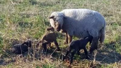 Una oveja tuvo trillizos en un campo entrerriano