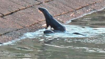 Fotografiaron lobitos de río que nadaban en zona portuaria entrerriana