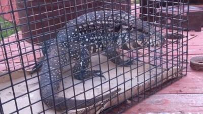 Hallaron una iguana en las oficinas del Correo Argentino en Paraná