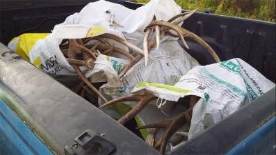 Incautaron más de 60 kilos de astas de ciervo