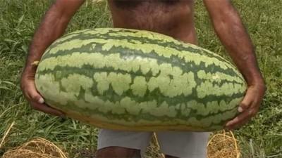 Video: cosecharon una súper sandía que pesó casi 50 kilos