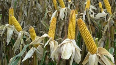 El gobierno levantó las restricciones a las exportaciones de maíz