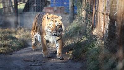 Rescataron un tigre de bengala y una leona que estaban en un predio rural