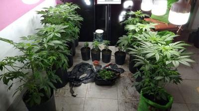 Descubrieron un vivero de cannabis sativa y secuestraron plantas de marihuana