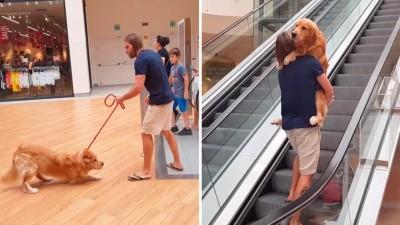 Golden retriever se niega a subir las escaleras eléctricas, así que papá lo ayuda