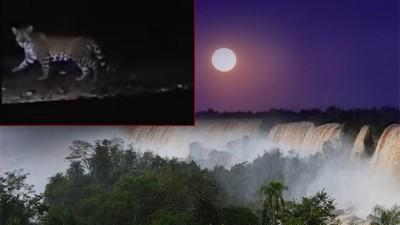 Filmaron un yaguareté durante paseo de luna llena en el Parque Nacional Iguazú