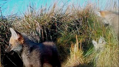 Primeras imágenes de cachorros de aguará guazú nacidos en el Parque Iberá